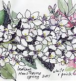 Indian Hawthorne